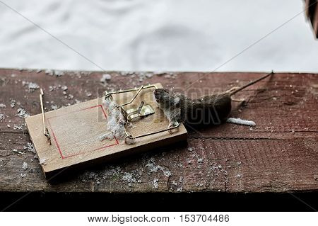 little gray mouse in a mousetrap wooden country house in winter
