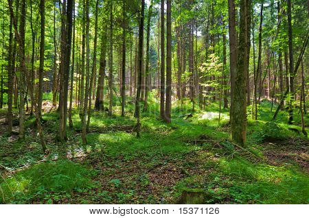 Wild forest. Wide angle view.