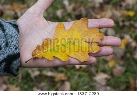 The fallen-down autumn leaf on a palm of the person