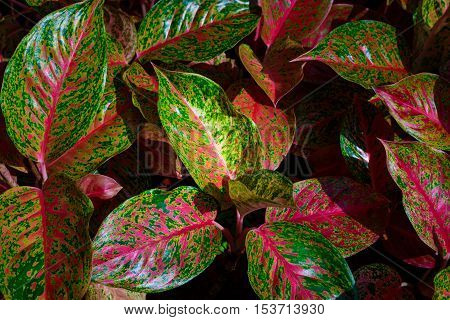 Top view of multicolored and colorful leaves plant flower dark and light tone background texture.