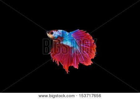 siamese fighting fish red and blue sky colour betta isolated on black background in top view.