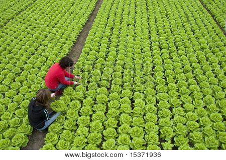 harvest of  green fresh lettuce by two women