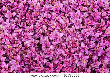 purple leaf texture Leaf background in garden.