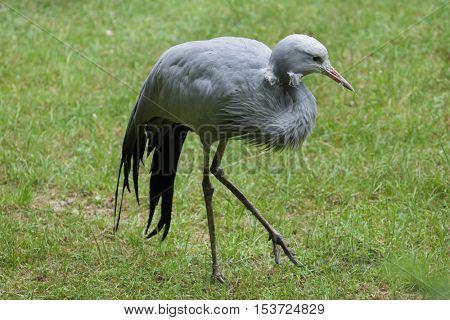 Blue crane (Grus paradisea), also known as the Stanley crane or paradise crane. Wildlife animal.