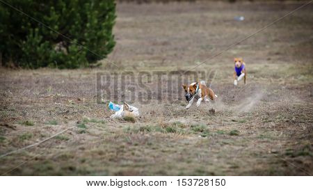 Coursing. Basenji dog catches lure. The lure of the fox skins. Autumn day