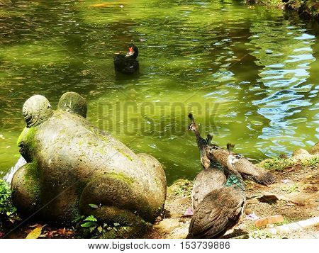 Wild peacocks standing on edge of pond next to stone frog statue with moss with one peacock looking at black swan swimming in water