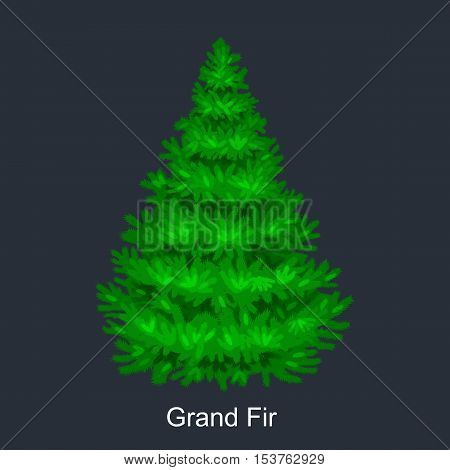 Christmas vector tree like grand fir for New year celebration without holiday decoration, evergreen xmas plants.