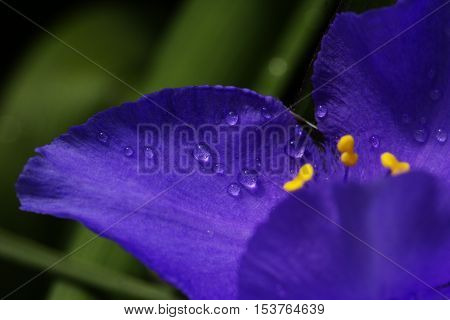 purple (violet) spring flowers with water drops. a close-up shot of droplets on a spring flower