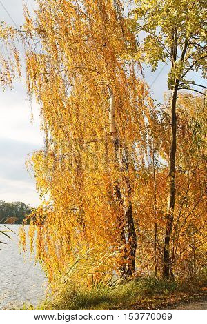 birch with bright yellow leaves on the bank of a pond enlightened with evening sun in Poodri, Czech Republic