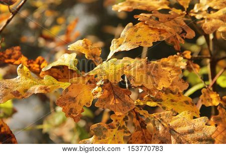 close photo of yellow leaves of oak tree covered with drops of water