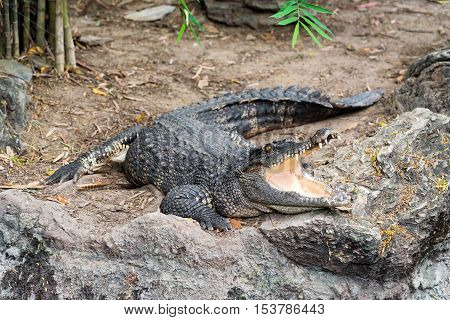 Wildlife Crocodile lies on rock and open its mouth for reduce body temperature.