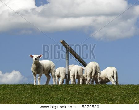 Lambs On A Dyke On The Island Of Sylt