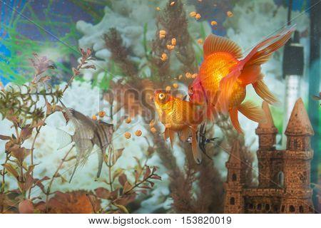 Two Different Types of Aquarium Fishes in One Aquarium: Ordinary Scalare Individual Fish Carassius Auratus known as Golden Fish Indoors. Horizontal Image
