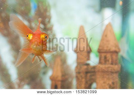 Ordinary Carassius Auratus Individual Fish Known as Golden Fish in Personal Aquarium Indoors. Horizontal Image Orientation
