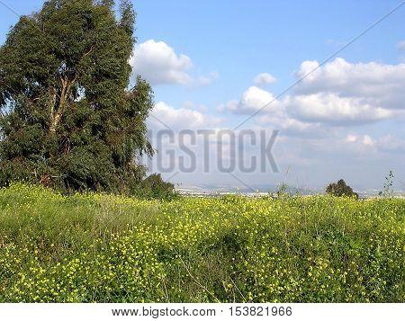 Or Yehuda Israel - March 19 2004: Eucalyptus tree.