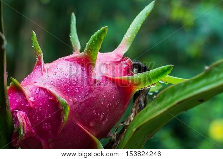 dragon fruit in garden with water drops