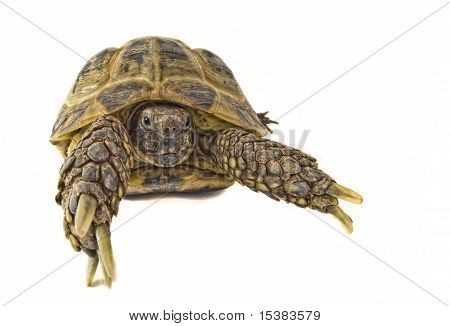 Tortoise On White 2