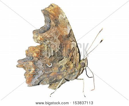A close up of the butterfly (Polygonia C-album). Isolated on white.