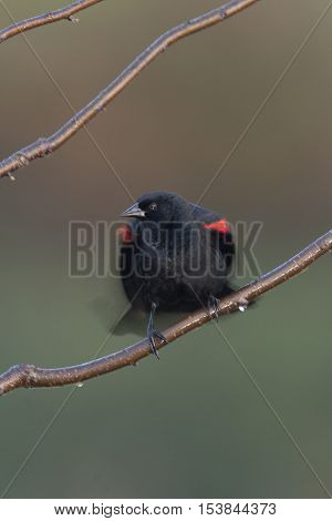 Red-winged blackbird perched on twigs with wings stretched