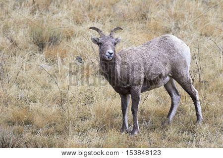 Expressing your attitude stick your tongue out bighorn sheep