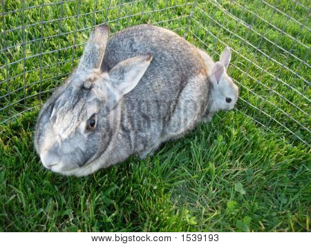 Mother And Gray Bunny