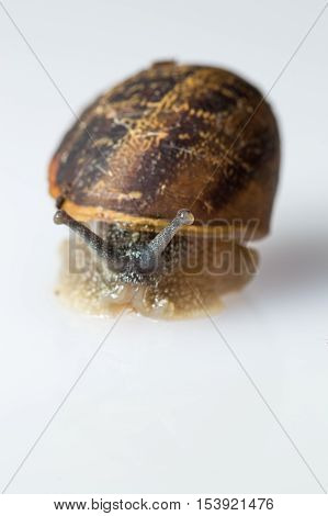 A close up macro shot of a garden snail against a white background