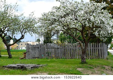 Apple trees in front of vegetable garden with old wooden fence and old well