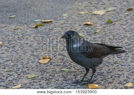Omnivorous bird, pretty town crow in autumn