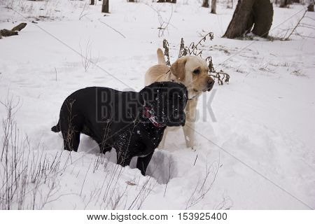 Pale yellow and black Labrador retriever standing on the snow in the winter forest