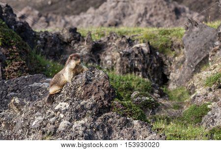 Black-capped Marmot At Kamchatka Peninsula National Park