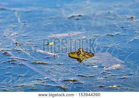 Close up photo of bullfrog between seaweed in shallow water