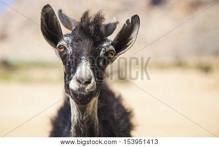 Friendly goat on an island of Socotra in Yemen