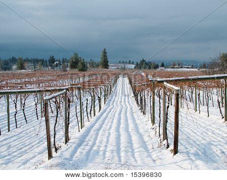 Kelowna Vineyard in Winter