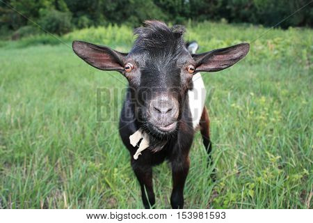 Surprised black goat in the meadow. Goat walking in the grass.