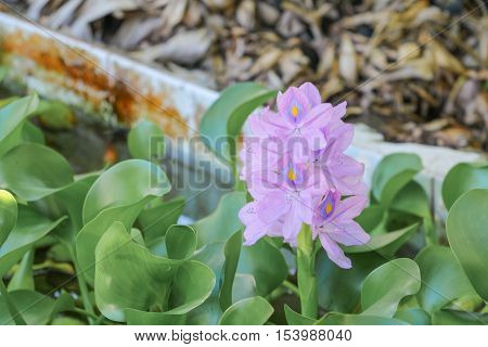 Water hyacinth floating beautiful in nature Java Weed (Eichhornia crassipes )