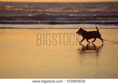 Silhouette of a small furry dog strolling on the beach at the edge of the water at sunset