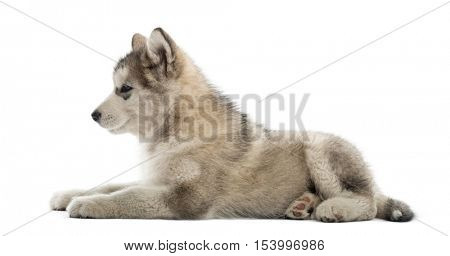 Side view of a Alaskan Malamute lying down isolated on white