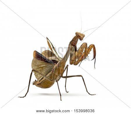 Praying mantis - Parasphendale sp Giant - isolated on white
