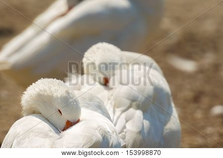 White gooses sleeping. Focus is on the first goose.
