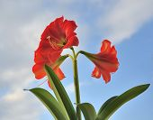 Three Red Big Flower On Blue Sky Background