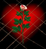 stock photo of loveless  - on a dark background with a large crimson heart behind barbed wire Lonely Rose - JPG