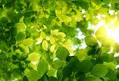 pic of green leaves  - Green leaves - JPG