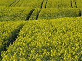 pic of biogas  - blooming springtime rape field with tractor tracks