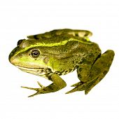 Close up photo of a nice frog isolated on white