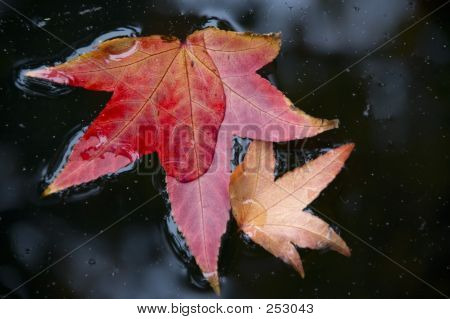 Two Fall Leafs Floating In Water