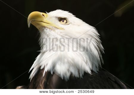 Eagle -  Symbol Of American Freedom