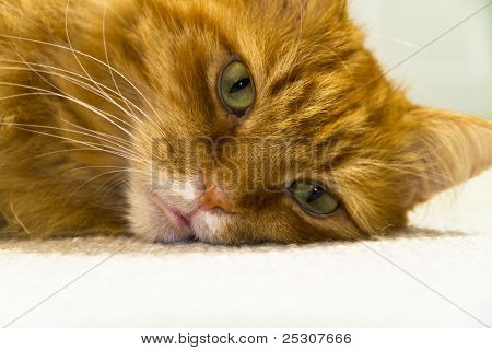 Close Up Of A Male Long Haired Ginger Cat
