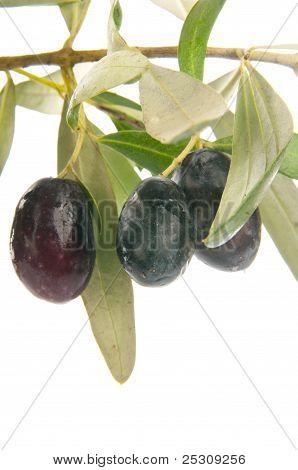 Fresh olive branch