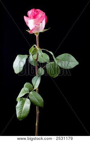 Pink Rose With Long Stem