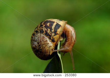Acrobatic Snail